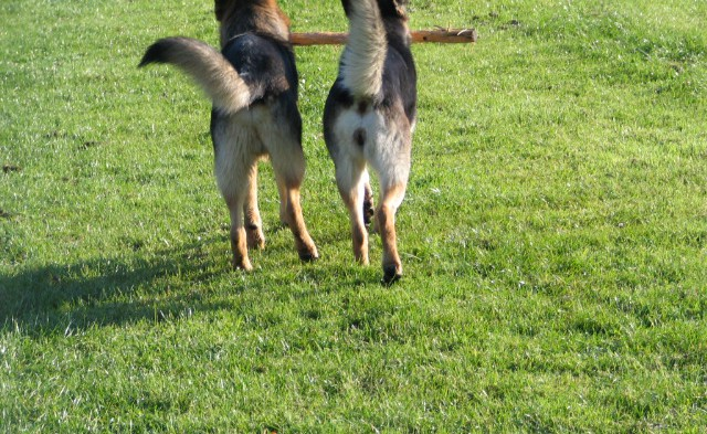 Výcvik s ustajnením psa po dobu troch týždňov