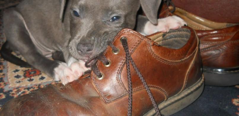 Ničenie vecí šteniatkom – Ako si s tým poradiť